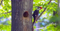 Pileated woodpecker at nest cavity
