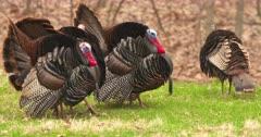 Wild Turkeys toms displaying for hens