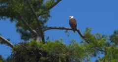 Bald eagle perched above nest