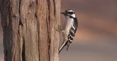 Downy woodpecker on dead tree