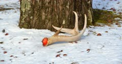 White-tailed deer (whitetail) shed antler on snow