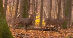Whitetail deer, buks and does running in woods V