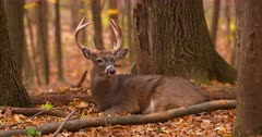White-tailed buck deer (whitetail) bedded autumn woods (zoom) IV.