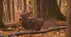 White-tailed buck deer (whitetail) bedded autumn woods III