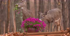 White-tailed does (whitetails) eating homeowners flowers fall IV.