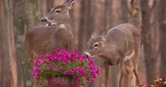 White-tailed deer (whitetails) does eating homeowners flowers fall V