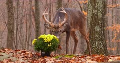 White-tailed deer (whitetail) buck eating homeowners flowers fall II