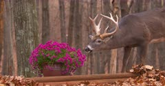 White-tailed deer (whitetail) buck eating homeowners flowers fall III