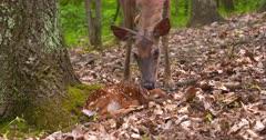 White-tailed deer (whitetail) doe licks newborn fawn