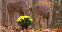 White-tailed (whitetails) deer does eating homeowners flowers I