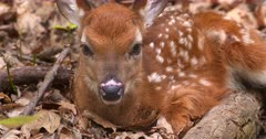 White-tailed deer (whitetail) newborn fawn bedded II