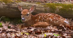 White-tailed deer (whitetail) newborn fawn bedded III