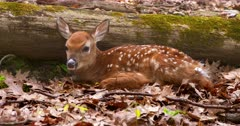 White-tailed deer (whitetail) newborn fawn bedded I