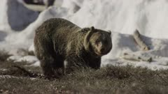 Grizzly Bear seating down digging lifts head and looks around looking at the camera .Golden light lights bear's face.