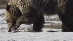 Grizzly Bear closeup walking searching for Squirrels and seed catch