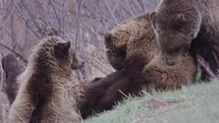 Grizzly Bear 610  approaches playful cubs and softly bites one to get their attention to start moving .
