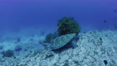 Green Sea Turtle gets moved by strong swell surge  60 feet bellow surface