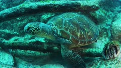 Green Sea Turtle uses submerged tree to scratch itself.