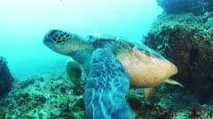 Green Sea Turtle moves close to camera