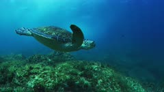Green Sea Turtle uses frontal flipper to remove gellyfish from eye