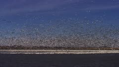 Snow Geese estimated 5 million in numbers, exercise prior to starting migration North