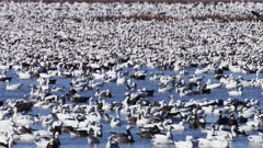 Snow Geese estimated 5 million in numbers, rest in Lake prior to starting migration North