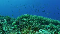 Wide angle view of stony coral with fish