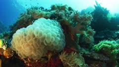 Closeup-wideangle of Bubble Coral Plerogyra sinuosa
