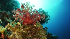 Dendronephthya soft Coral with sun rays dancing behind