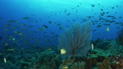 Deep water reef scene of Pyramid Butterfly fish feeding in current