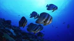 Closeup-wideangle of Orbicular Batfish school (Platax orbicularis)