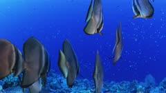 orbicular Batfish school swims away from camera