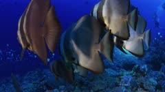 orbicular Batfish school swims being back lighted by video light