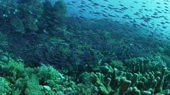 Baitfish school swims in beautiful coral gardens at dusk