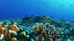 Green Sea Turtle swims in beautiful coral gardens magic hour light