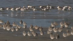 Various wading birds take a break on a mudflat