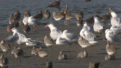 Bar-tailed Godwits and Caspian Terns rest on a mudflat