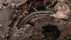 A skink rests on a decaying log, then leaves