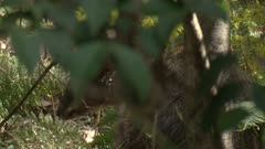 A Wallaby moves behind bushes