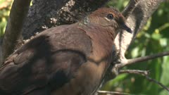 Brown Cuckoo-Dove perched on a tree