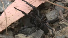 A Funnel-web spider crawls under a leaf