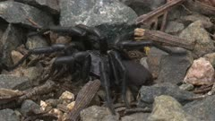 A Sydney Funnel-web Spider rests on pebbles