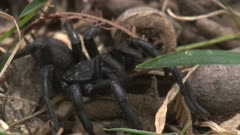 Sydney funnel-web-spider - considered the world's deadliest