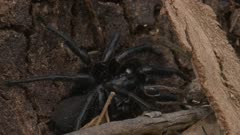 A  poisonous Sydney Funnel-web Spider rests on a tree trunk