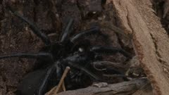 A Funnel-web Spider rests on a tree trunk