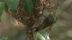 A Gerygone arrives at the nest, works on it, and leaves again