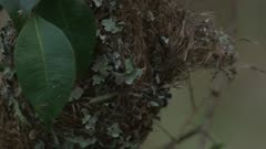 Brown Gerygone works in the nest and leaves