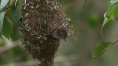 A Brown Gerygone works on its 'hooded' nest and leaves