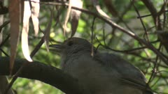 A Grey Shrike-thrush sings on its perch