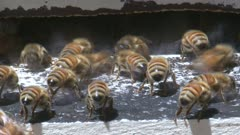 Traffic at the entrance of a bee hive